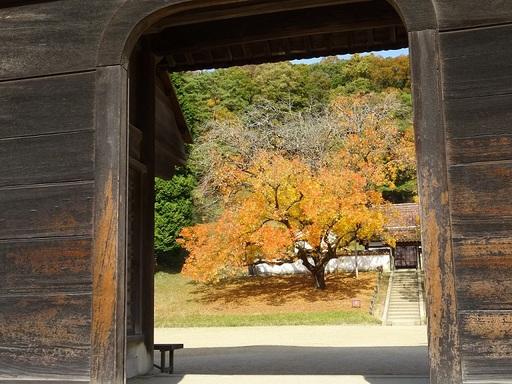 門越し楷の木1up.JPG